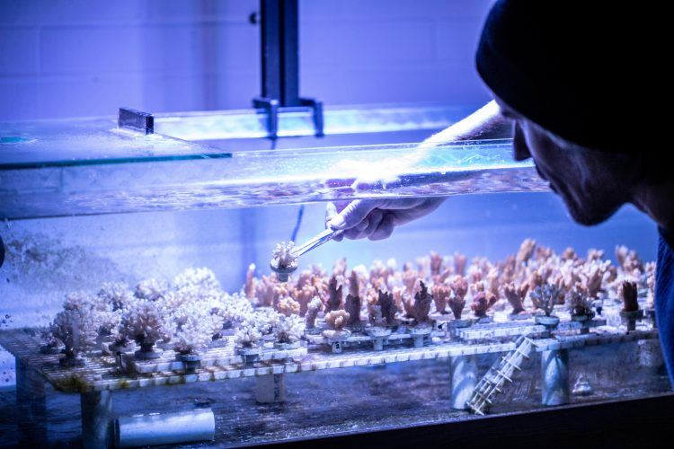 A researcher uses a tool to take a small coral out of a tank filled with them