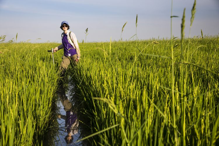 A researcher walking through a rice field