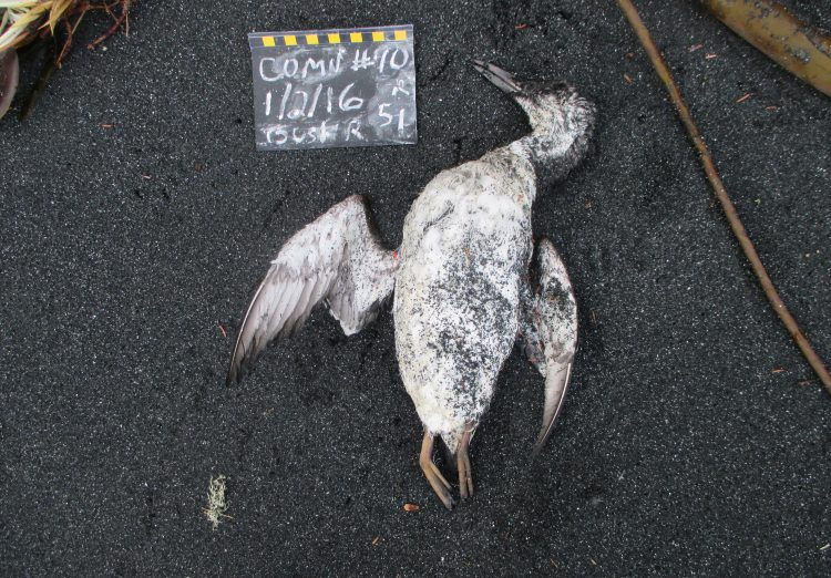 dead common murre