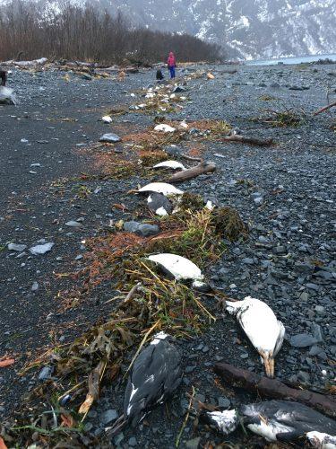 common murres on an alaska beach