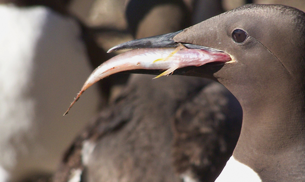 'The blob,' food supply squeeze to blame for largest seabird die-off