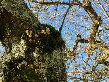 cherry buds opening