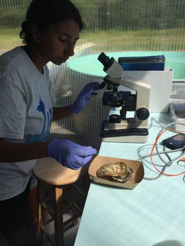 examining oyster tissue