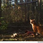 cougar on wildlife camera