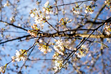 branches on cherry blossom tree