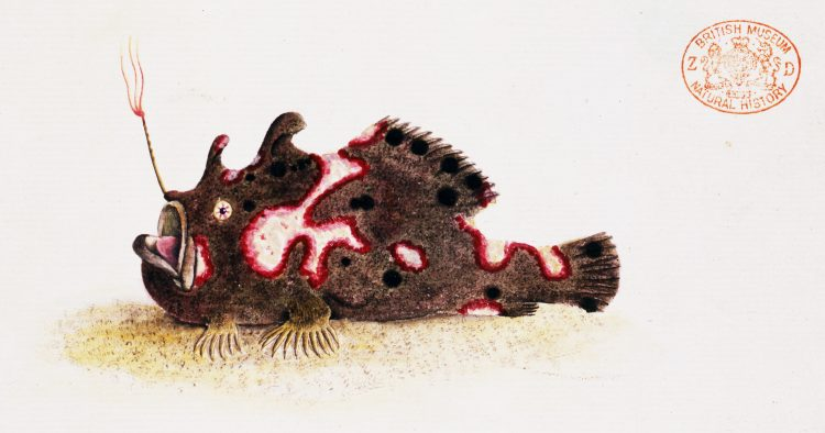 An illustration of the frogfish Antennarius pictus, published by George Shaw in 1794. From a new book on frogfish by the UW's Ted Pietsch.