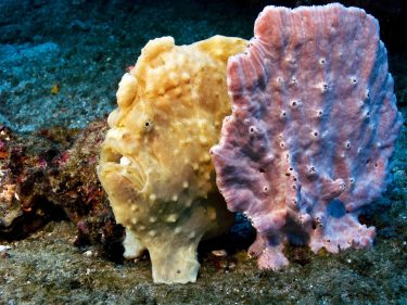 Image of frogfish mimicking a sponge. They look very similar, the sponge is on the right.
