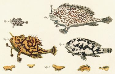 An old illustration of frogfish, The earliest published images of two species of frogfishes, published by zoologist Albertus Seba (1665-1736).