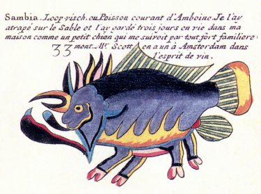 "A very cool painting of a walking fish. A painting of Sambia, the Walking-fish or Common Fish of Ambon. One of hundreds of paintings made in the late 1690s and very early 1700s by Samuel Fallours, an artist working for the Dutch East India Company at Ambon, Indonesia. He is said to have modeled this bizarre depiction of an antennariid exactly from nature. Fallours' legend to his illustration reads: ""I caught it on the sand and kept it alive in my house for three days; it followed me everywhere with great familiarity, much like a little dog. Mr. Scott in Amsterdam has one preserved in spirits of wine."""