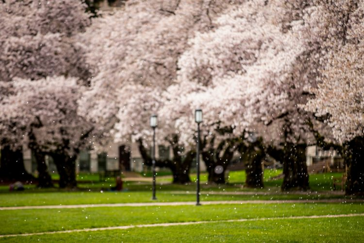 petals falling off cherry blossom trees