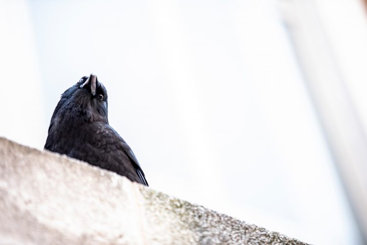 Crow looks down from the top of a wall