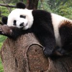Panda sleeping on stump