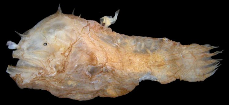 female anglerfish with male attached