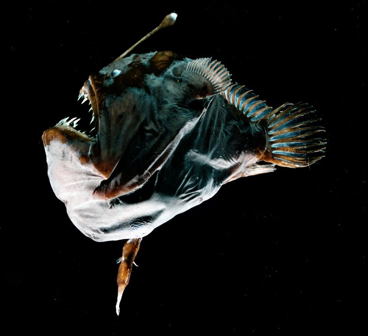 a female anglerfish with a male attached