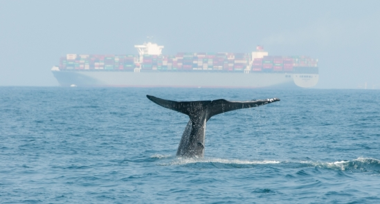 An image of a blue whale tail surfacing near a large cargo ship.