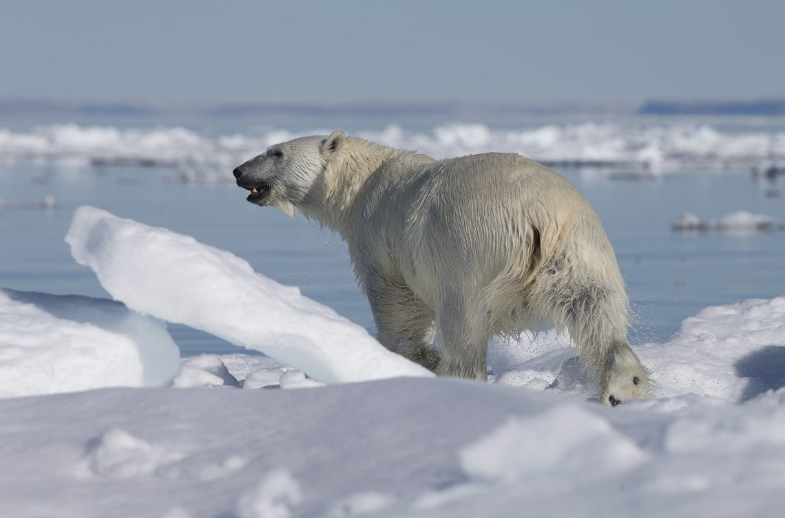 polar bear with ice and water in background