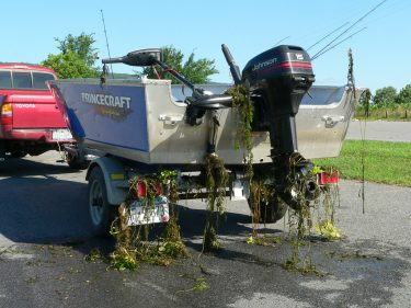 invasive plants caught on a boat and trailer