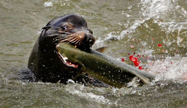 sea lion eating a salmon