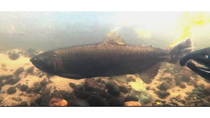 A coho salmon as seen underwater