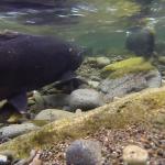 salmon underwater in stream