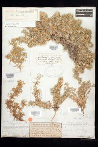A photograph of a museum specimen of a now-extinct plant species.