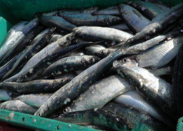 herring fish