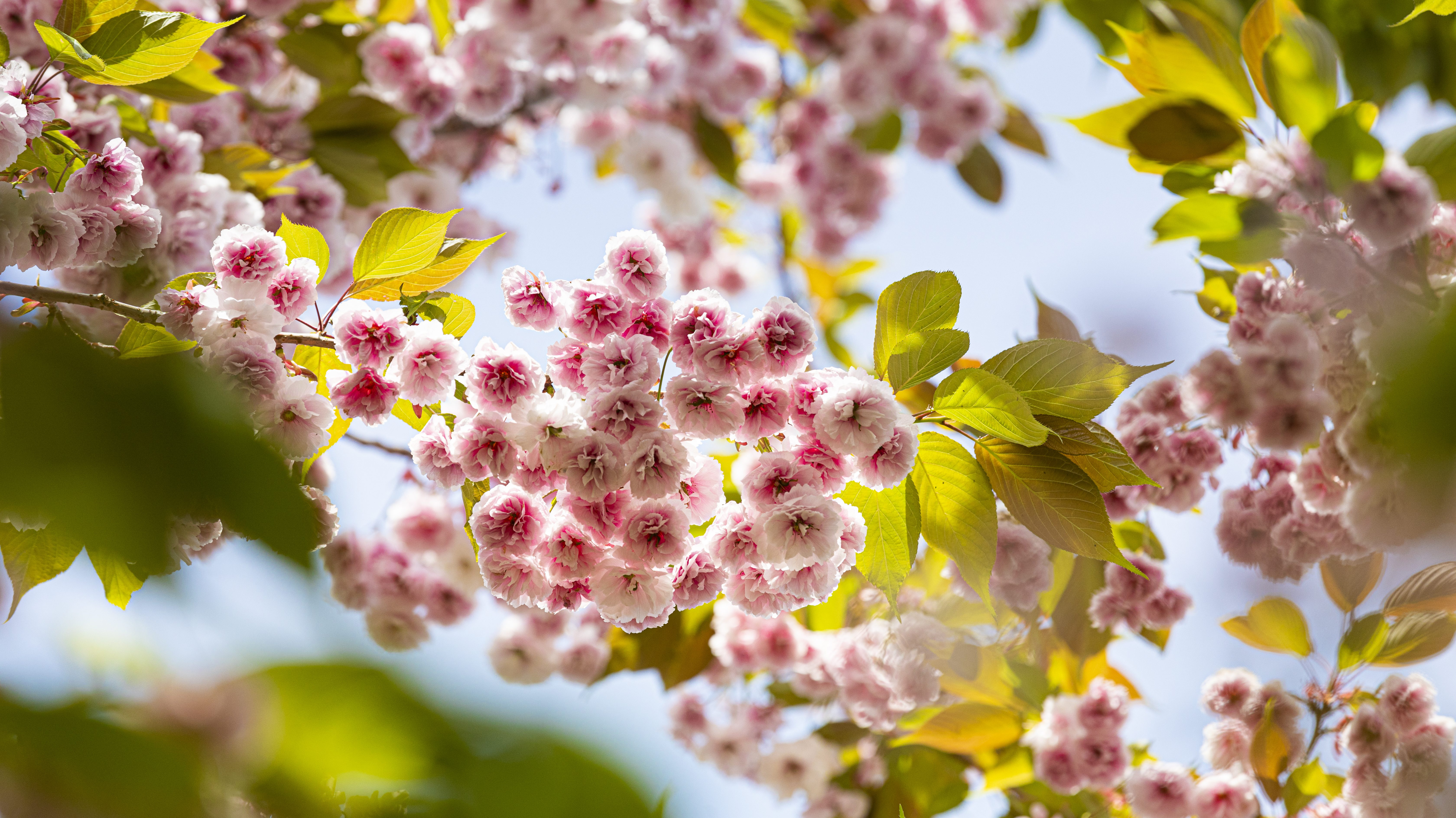 up-close shot of blossoms on a cherry tree