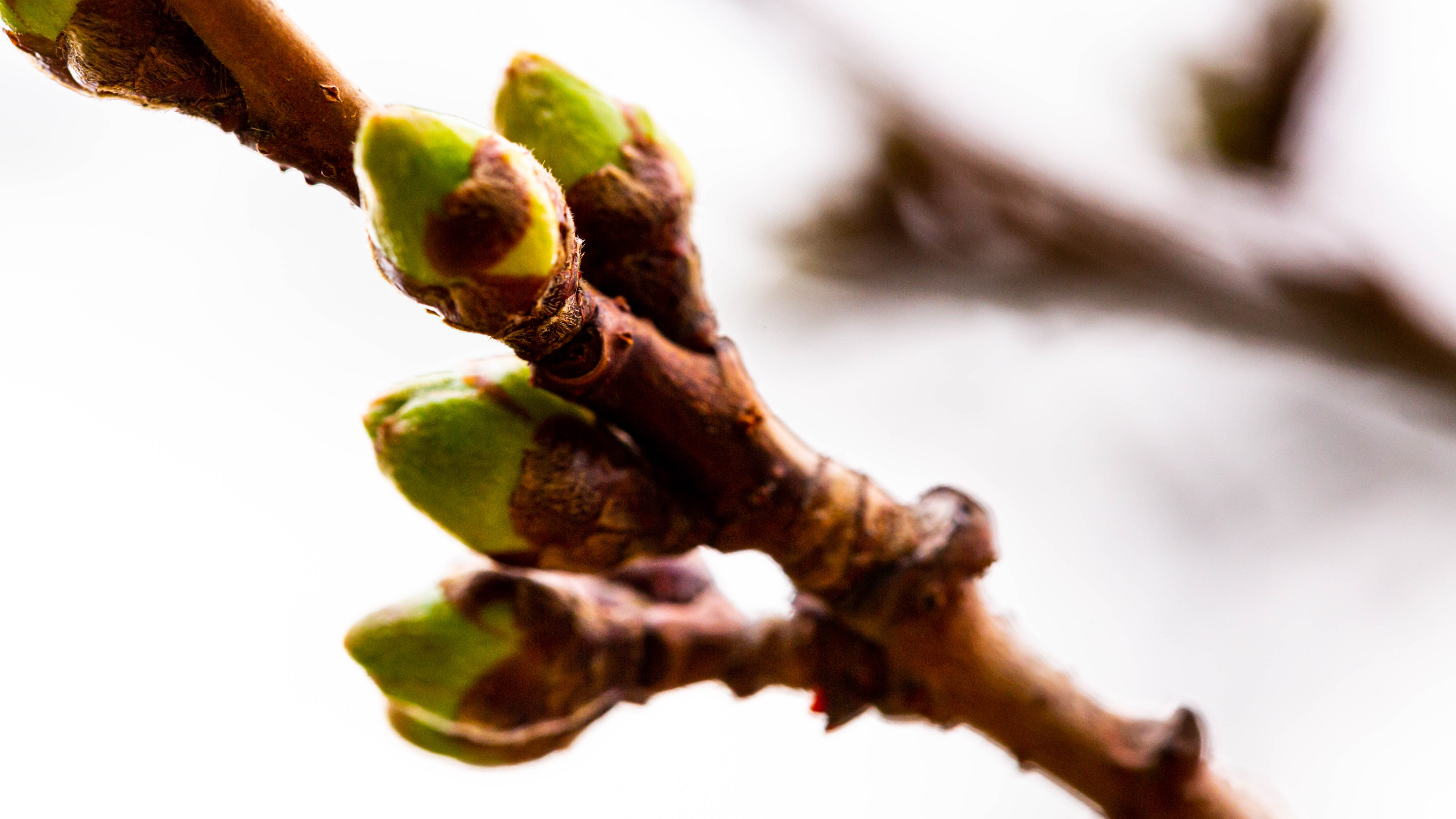Cherry blossom buds in an early stage of bloom.