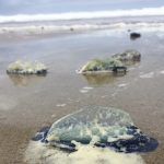 jellies washed on shore.