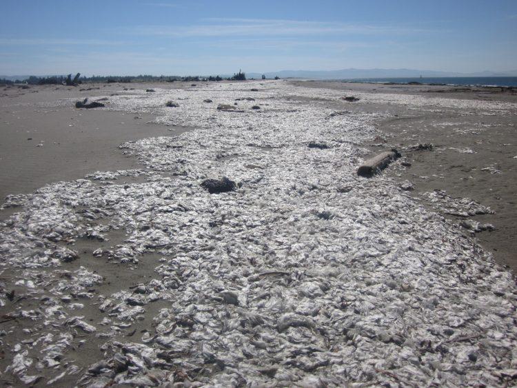 mass stranding of jellies on a beach