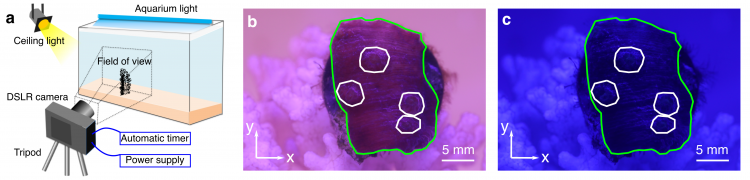 Three images: on the left is a diagram showing a coral in a tank and a camera on a tripod. In the center is a purple coral outlined in green. On the left is a darker purple coral outlined in green.