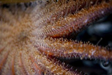 adult sea star