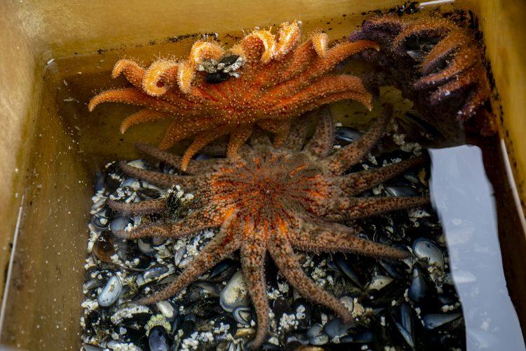 adult sea stars eating mussels