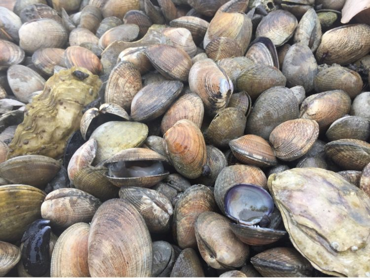 dying clams on the beach