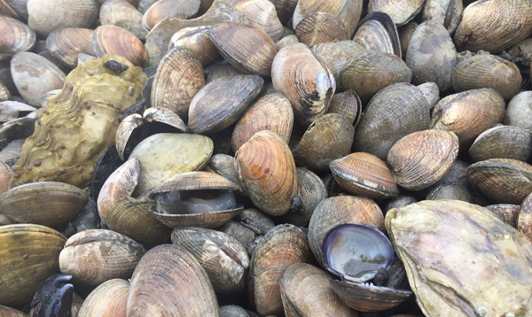 Researchers discover culprit behind summer mass shellfish mortality events in Washington