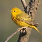 yellow warbler up close