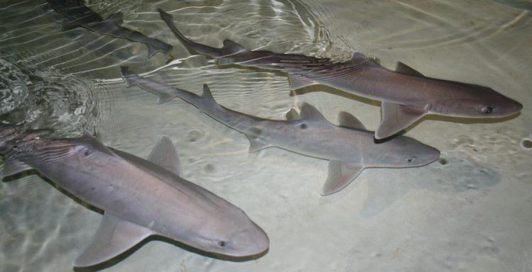 three dogfish sharks