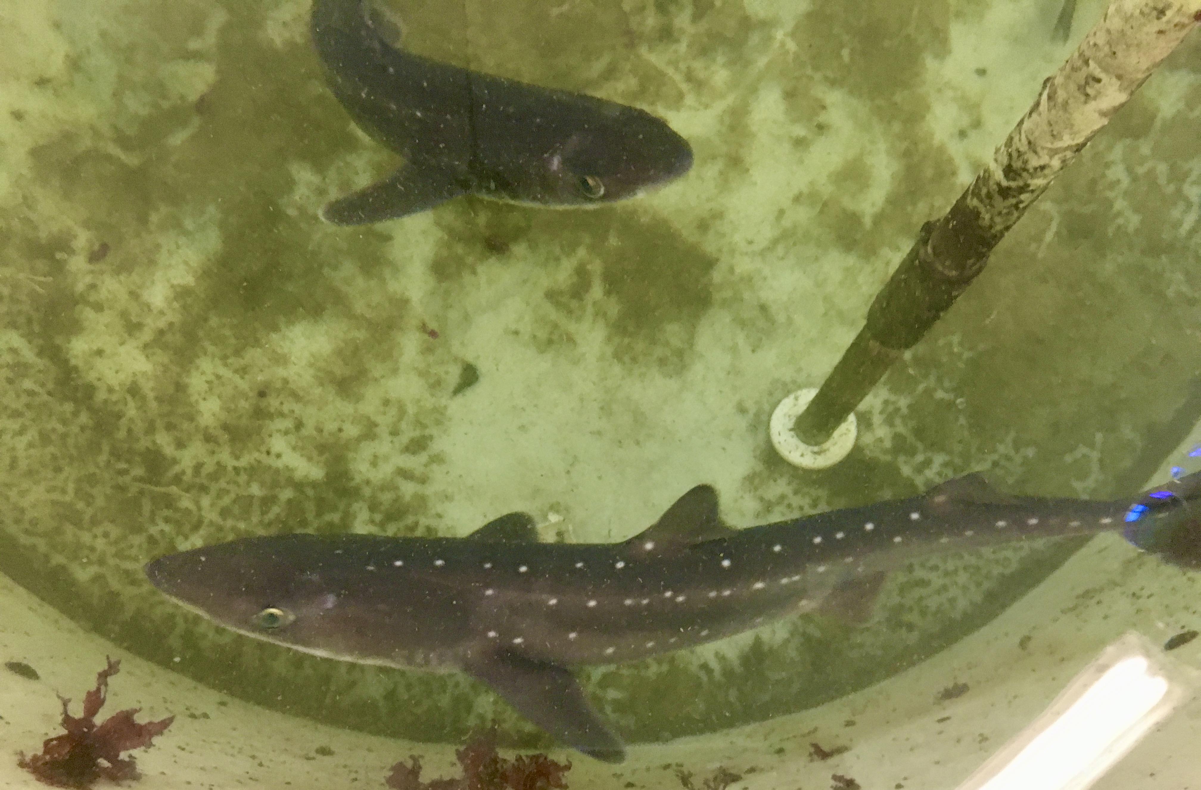 Two sharks swim in a circular tank