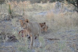 An image of lions in Botswana after killing prey