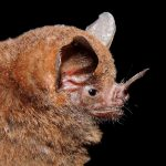 An image of a short-tailed fruit bat