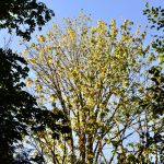 declining bigleaf maple tree