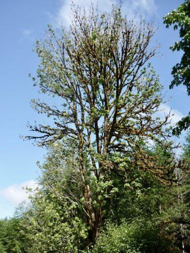 bigleaf maple tree almost dead