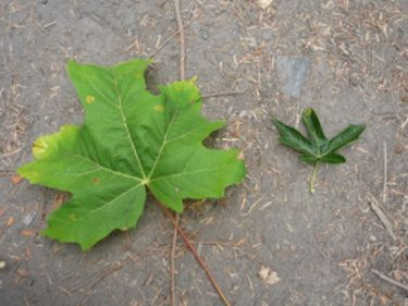 two maple leaves, one big and one small