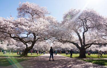 CherryBlossoms375x240