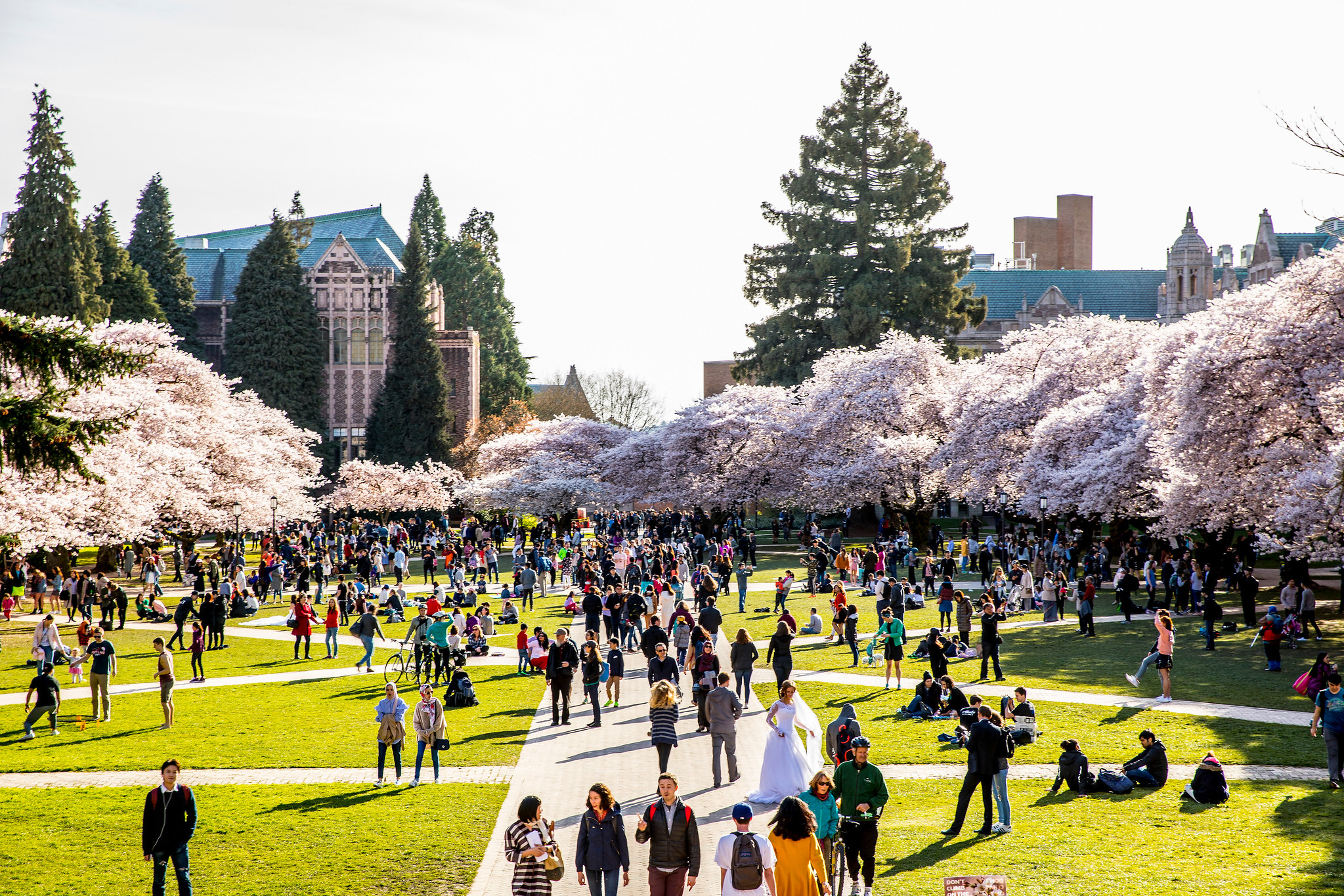 Cherry Blossoms on the Quad during Spring of 2017