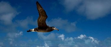 Black-footed albatross bird in flight