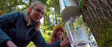 A student collects maple sap in Pack Forest.Kiyomi Taguchi / University of Washington