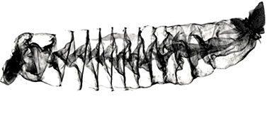 3D image of shark intestines