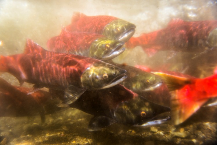 A close up underwater shot of sockeye salmon.