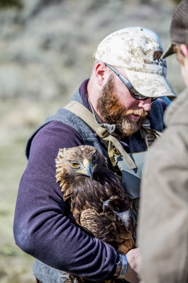 Eric Johnston, an eagle research team leader, holds a golden eagle he has captured as part of a demonstration for students. After being weighed and measured and having its blood drawn, the bird is released.